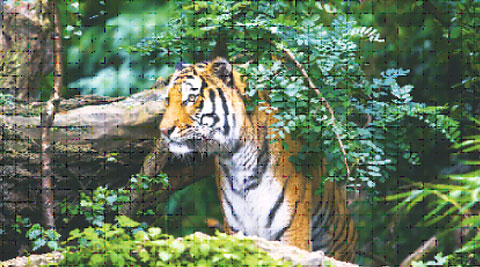 In some countries, it's legal to domesticate wild beasts, but the results aren't pretty thinkstock
