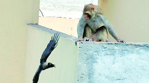 Monkey at the rooftop of a house at Aman Nagar near Jalandhar bypass on Monday